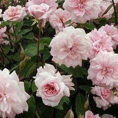80a6627eee27a640f9460d7371e06b3a--climbing-roses-cecile